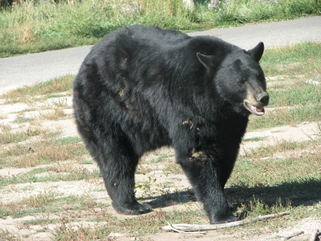 An American black bear, not the one sighted in Carrboro. Photo courtesy of DaBler