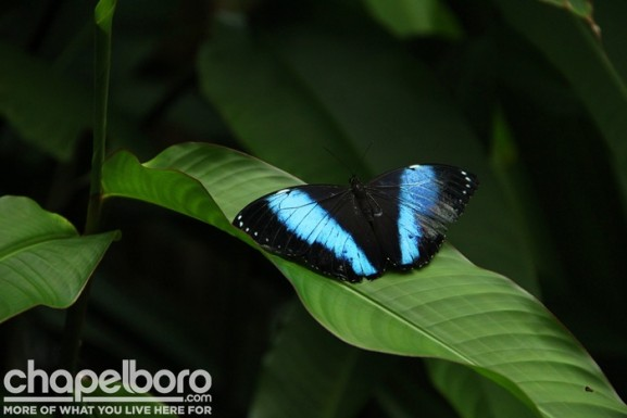 Our guest of honor for the evening, the Blue Morphos butterfly